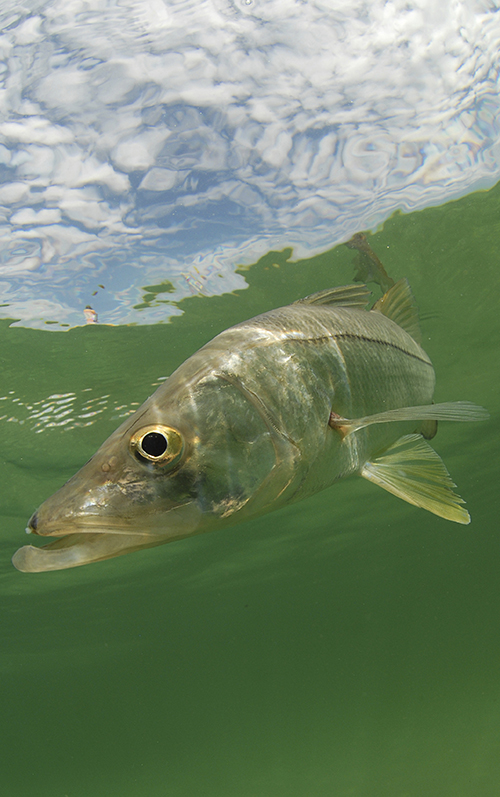 florida keys Snook fish